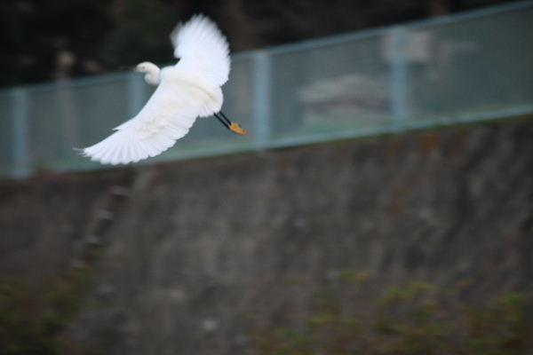 2011年11月さぎ1-5.JPG