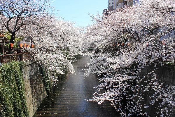 2012年4月桜1.JPG