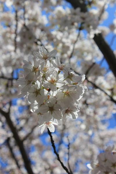 2012年4月桜1-5.JPG