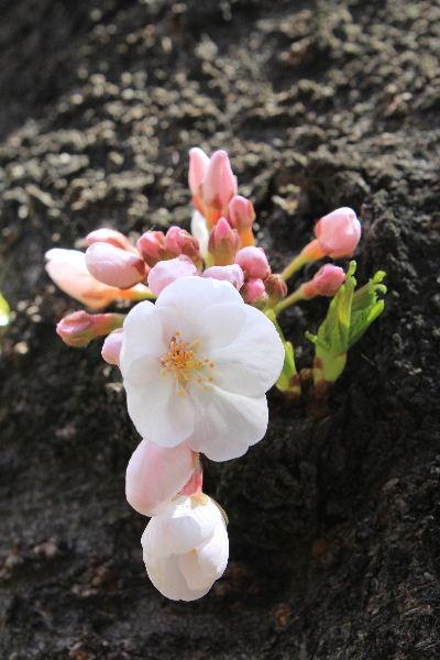 2012年4月桜1-6.JPG
