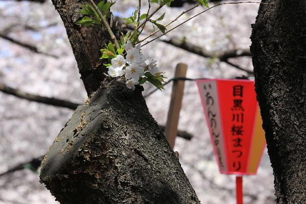 2012年4月桜1-7.JPG