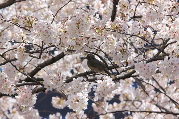 2012年4月桜1-8.JPG