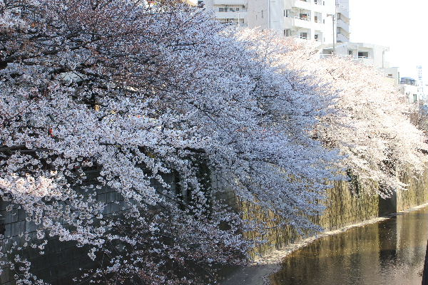 2012年4月桜1-9.JPG